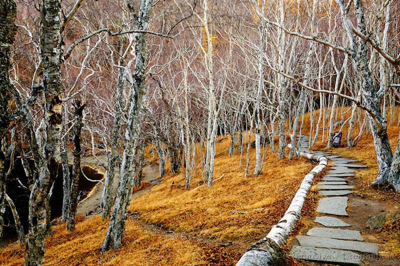 Jilin, Changbai, tree