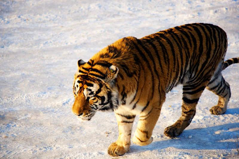 Heilongjiang, tiger, wildlife