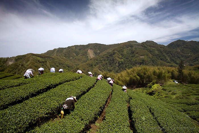 tea, Taiwan, people, mountains