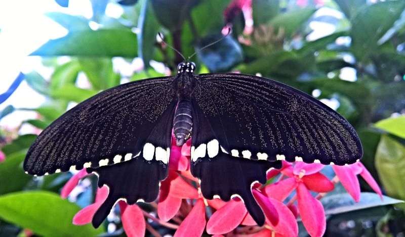 chinese wildlife, Common mormon butterfly,  Papilio polytes