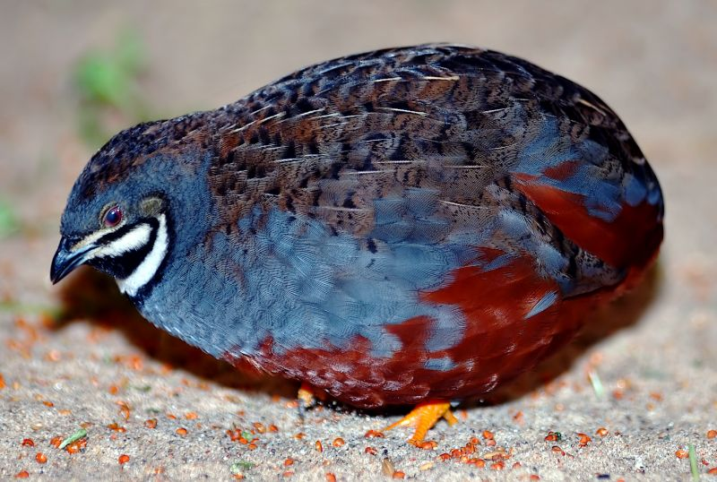 chinese wildlife, Asian Blue Quail,  Chinese Painted Quail, Coturnix chinensis
