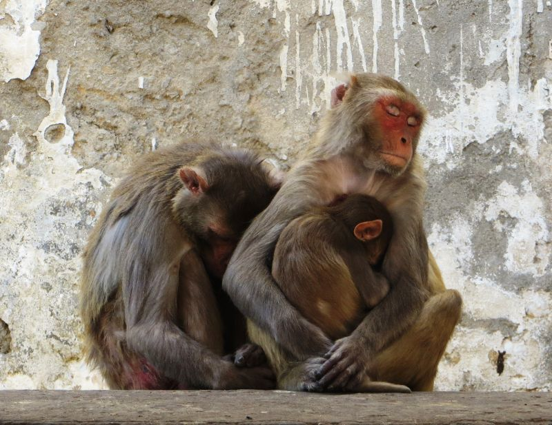 chinese wildlife, Rhesus macaques